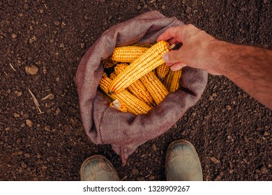 Farmer picking harvested corn cobs from burlap sack, top view of hand with selective focus