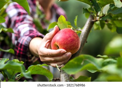 Farmer picking red apple from tree. Woman harvesting fruit from branch at autumn season