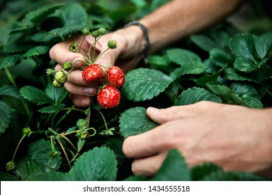 Farmer is picking red ripe strawberry in his greenhouse. Natural farming and healthy eating concept