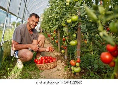 Farmer picking tomatoes in a basket, in the hothouse garden