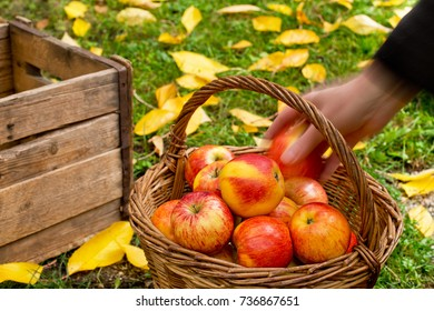 Farmer Picks Red Apples in the Garden.