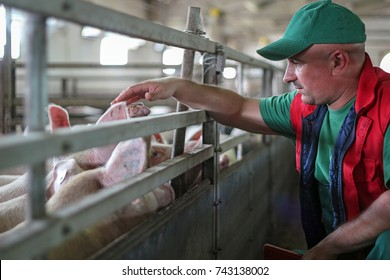Farmer and Pigs on a Pig Farm. Intensive pig farming. Pig farm worker.