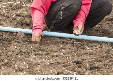 farmer planting garlic in the farm