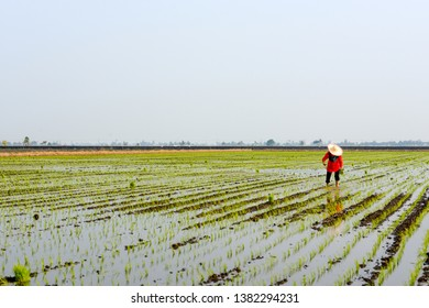 Farmer planting on the paddy rice farm land at Sekinchan, Malaysia. agriculture in rice field.