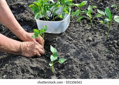 farmer planting a pepper seedling in the vegetable garden