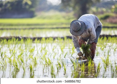 Farmer planting rice sprout in Thailand.