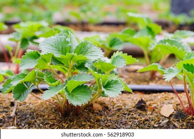 Farmer planting strawberry