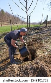 Farmer planting a walnut tree in his orchard