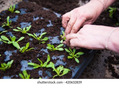 Farmer planting young seedlings in the greenhouse