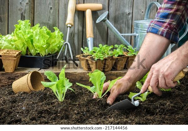 Farmer planting young seedlings of lettuce salad in the vegetable garden
