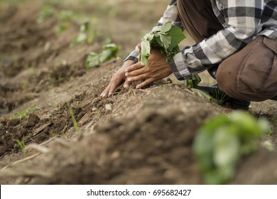 Farmer planting young sweet potato tree to farm fields, Hand close up