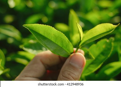 Farmer plucking a tea leaves at organic tea garden