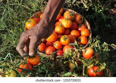 farmer plucking tomato