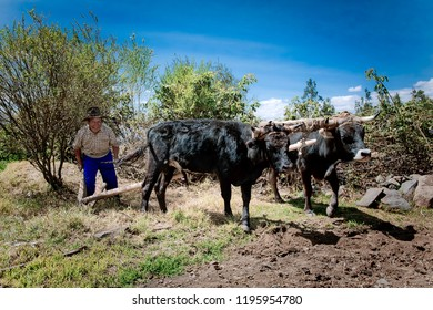 Farmer preparing the land for sowing, pushing two oxen. Thursday, October 11, 2012, Caráz Peru.