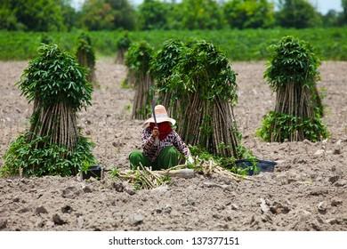 Farmer Preparing Young Cassava Plant