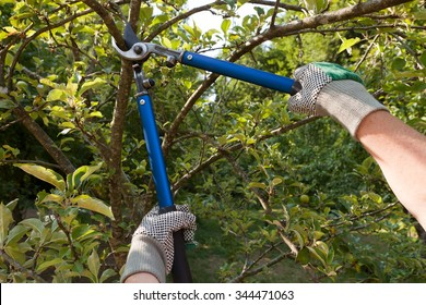 Farmer pruning an apple tree with pruning shears
