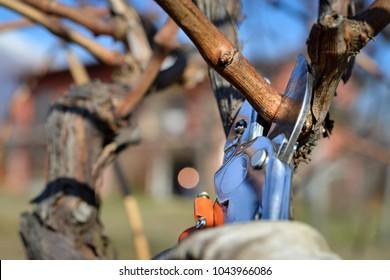 farmer pruning vines