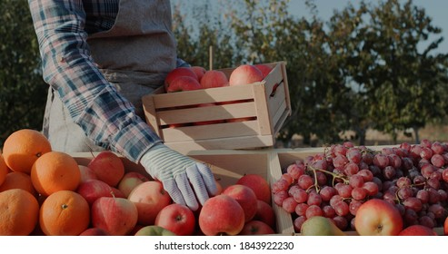 The farmer puts ripe apples on the counter. Farmer's market and products from local producers - Shutterstock ID 1843922230