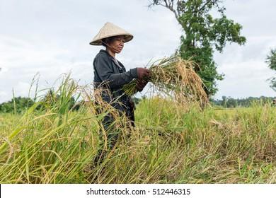 farmer reaping rice in Laos