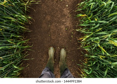 Farmer in rubber boots walking through muddy wheat field and examining development of cereal crops after heavy rain, top view