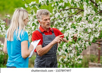 Farmer and scientist in apple garden with blossom background. agriculture and gardening concept.