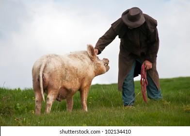 Farmer scratching pigs head