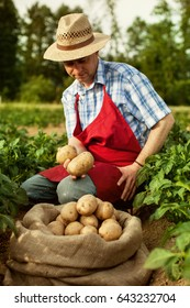 farmer show his organic potato harvest at field