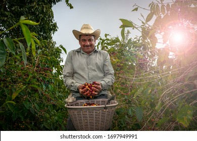 Farmer showing his freshly harvested Arabica coffee beans.