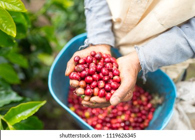 Farmer showing red and picked coffee beans in his hands