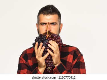 Farmer shows his harvest. Man holds bunch of purple grapes as beard isolated on white background. Winegrower with serious face holds cluster of grapes. Viticulture and gardening concept