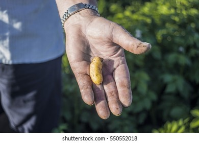"Farmer shows a young potato. ""Kipfler"" is a special variety of potatoes."