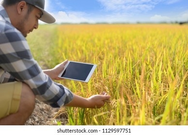 A farmer sitting in the rice field and using a tablet. Modern application of technologies in agricultural activities. Farmland, new technologies, harvesting, fertilization, crop inspection,copy space.