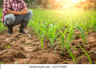 Farmer sitting with young corn in field.
