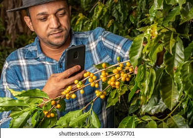 Farmer with smartphone taking picture of beans in coffee plant. Online coffee analysis. Agronomist service over the internet. Fertilization or pests. Brazilian.