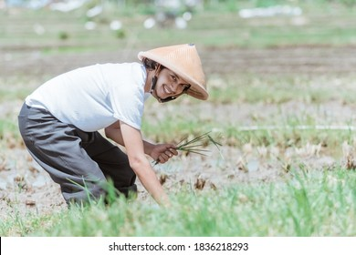the farmer smiles wearing a hat when bending over when planting rice in the fields