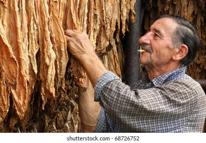 Farmer smokes a cigarette and looks dry tobacco leaf