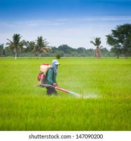 Farmer spray the fertilizer in green rice field.