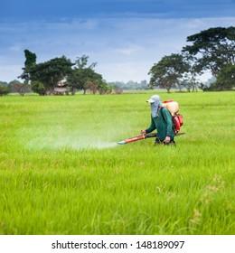 Farmer spray the fertilizer in green rice field