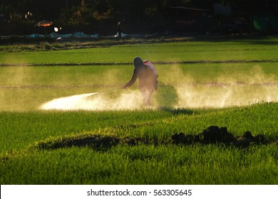 Farmer spray pesticides to rice in field in day  back light