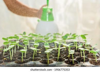 Farmer spray the water to sapling of melon in Nursery tray