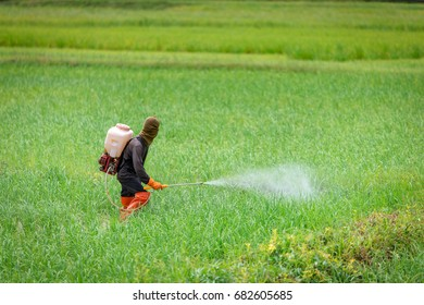 farmer spraying insecticides in rice farm