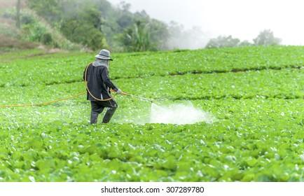 Farmer spraying pesticide in the Collard field.