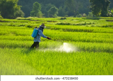 farmer spraying pesticide in the rice field.