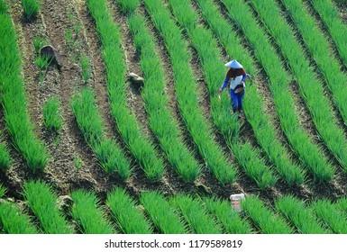 Farmer spreading fertilizer at the rice field in Majalengka, West Java, Indonesia.
