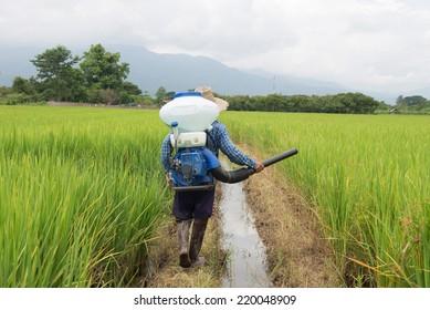 Farmer spreading fertilizer in rice field