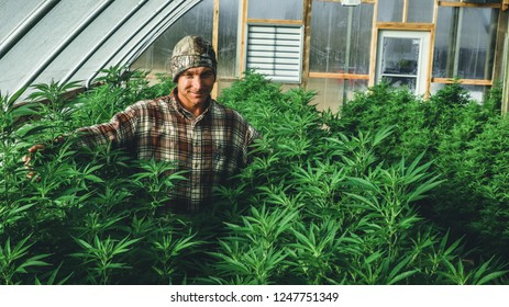 A farmer stands among his commercial greenhouse hemp crop. Cannabis sativa grown industrially for the production of hemp for derived products like CBD oil, fiber, biofuel and others.