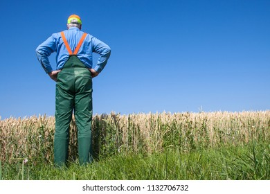 Farmer stands with his back to the camera and looks at his cornfield on a sunny summer day. It rained too little and the grain is too small.