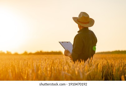 Farmer stands in rape wheat field with folder in hands. Harvest season. Sunset in a wheat meadow. View from the back.
