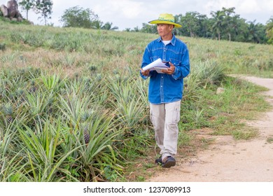 A farmer survey his pineapple farm. IOT and Smart Farming concept.