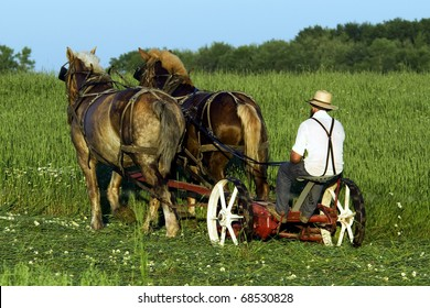 Farmer and team of horses cutting wheat.  A chance to look back to the way grain was commonly cut in the early 1900's.